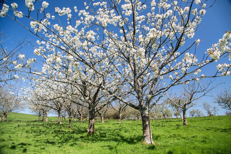 Apple Blossom Afternoon 108/365