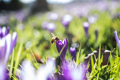 Bee in Crocus  48/365