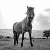 Darkmoor Pony  18/52
