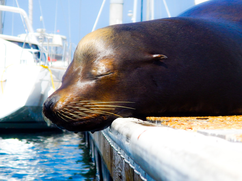 Harbor Seal, Marina del Rey, CA