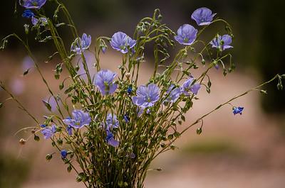 Desert flower in Blanding Utah.