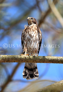 Newly Fledged Fostered Cooper's Hawk Doing Well