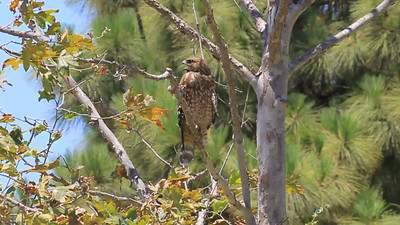 Young Red Shouldered Hawk calling