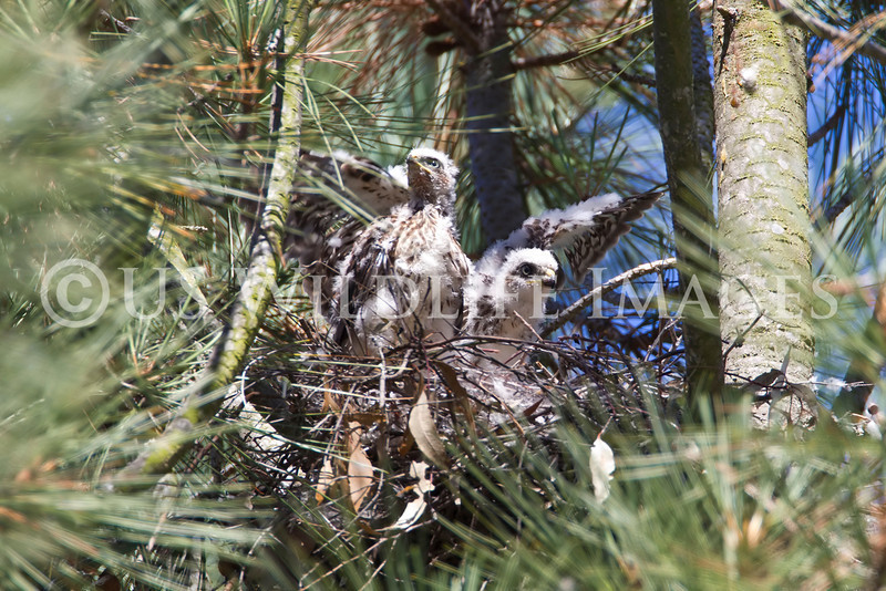 Newly Added Cooper Hawk Chick added to existing Nest.  Her nest was cut down by tree trimmers.  She was the only surviver.  We Fostered her out to this active nest.