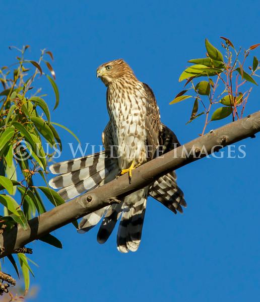 Juvenile Coopers Hawk Preening