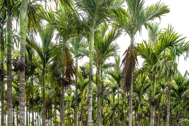 Betelnut plantations in Coorg, Karnataka