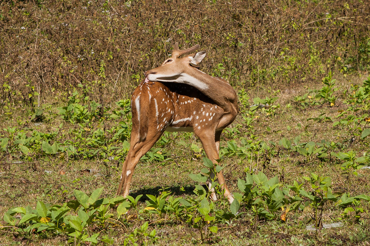 Deer in the forest around the highway from Coorg to Mysore