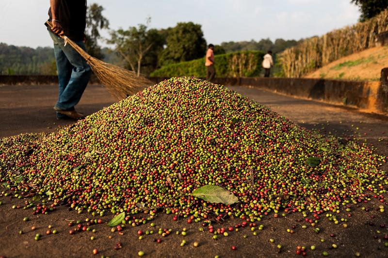 Fresh coffee seeds at a  coffee plantation in Coorg, Karnataka