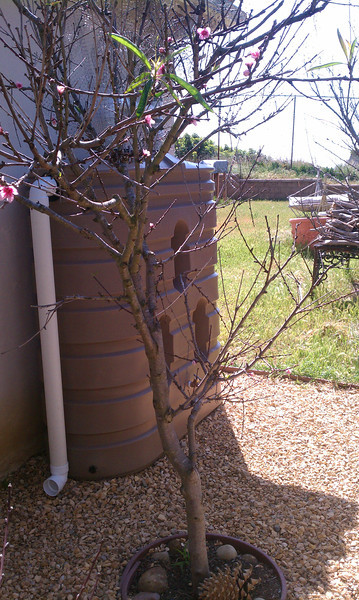 """305 gallon slim tank with overflow directed to nearby fruit trees.<br />  <a href=""""http://www.rain-watersystems.com/"""">http://www.rain-watersystems.com/</a>"""