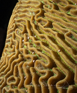 Spawning Brain Coral