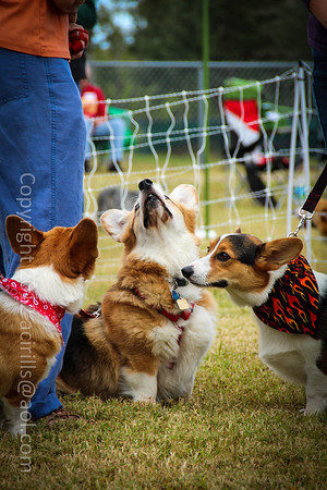 Corgi Picnic Fall 2012 in Palm Bay, Florida