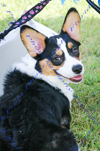 Corgi Picnic Fall 2014 in Palm Bay, Florida