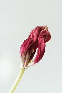 Tulips-8565-Exposure
