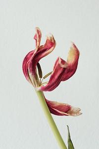 Tulips-8572-Exposure