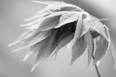 Maple Leaves_DSC7238-Ilford3200