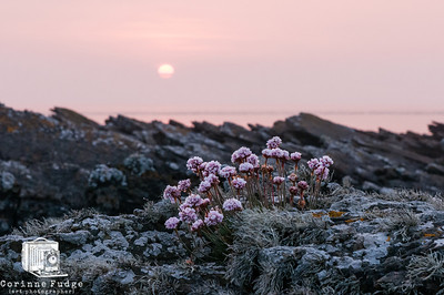 pinks at sunset 2200hrs orkney