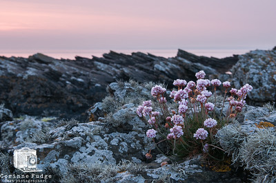 seapinks at 2200 hours late night sunset in the far north june 2012, orkney