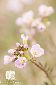 cuckoo flower 2012