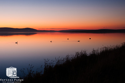 swans late october sunset, loch of stenness, orkney 2012