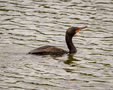 Cormorant at Crab Orchard National Wildlife Preserve