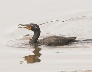 Double-crested Cormorant San Elijo Lagoon  2013 11 22-2.CR2-1.CR2-2.CR2
