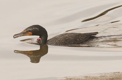 Double-crested Cormorant San Elijo Lagoon  2013 11 22-2.CR2-1.CR2-1.CR2