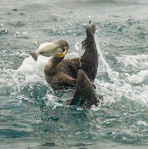 Double-crested Cormorant Oceanside 2014 12 03-2.CR2