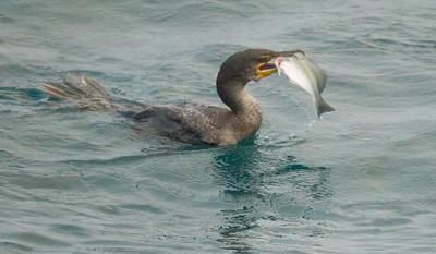 Double-crested Cormorant Oceanside 2014 12 03-1.CR2