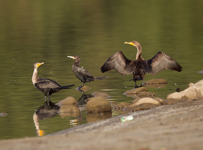 Neotropic Cormorant Lake Oneil Camp Pendleton 2016 10 16-1-8.CR2