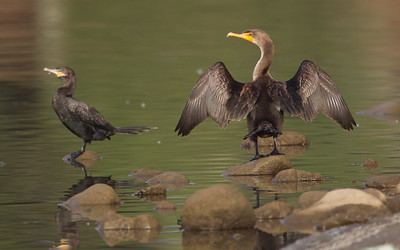 Neotropic Cormorant Lake Oneil Camp Pendleton 2016 10 16-1-5.CR2