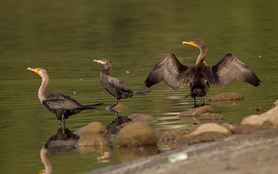 Neotropic Cormorant Lake Oneil Camp Pendleton 2016 10 16-1-6.CR2