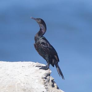 Pelagic Cormorant  Sunset Cliffs 2015 10 21-1.CR2