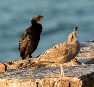 Pelagic Cormorant Chula Vista 2015 12 05-1.CR2