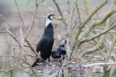 Great Cormorant - Skarv