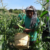 Eng Pho smiles as he finds an area where the ripe corn is plentiful at Griggs Farm. -- photo by Mary Leach