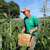 Bob Tobey walks carefully in between the rows, looking for mature corn to pick at Griggs Farm. -- photo by Mary Leach