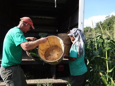 Corn harvest in Billerica