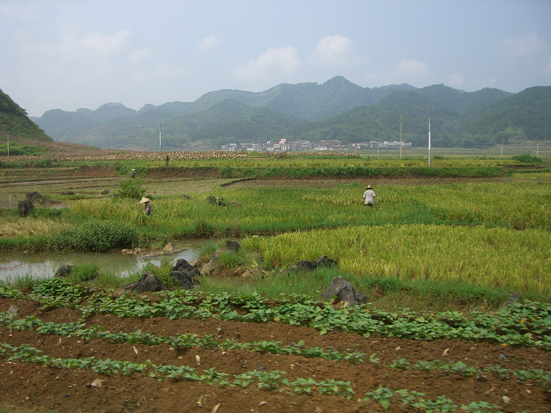 2006 07 26 Wed - Rice farmers