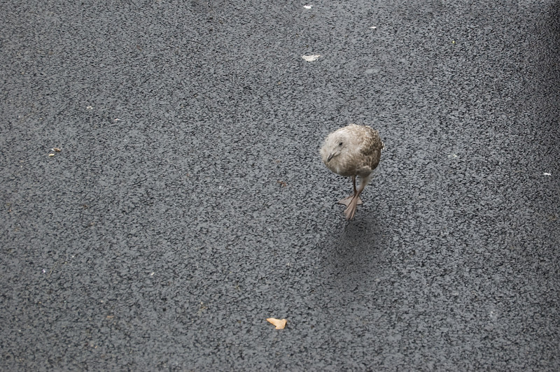 Baby Seagull (2)