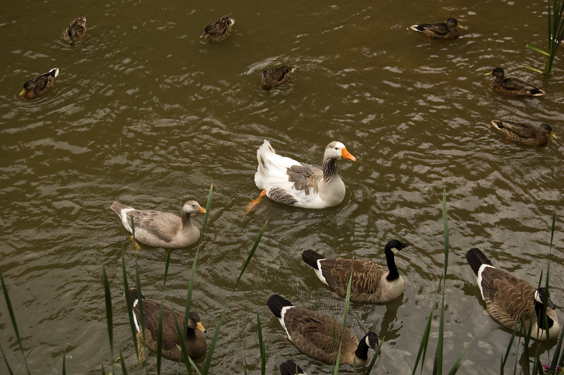 More Ducks and Geese