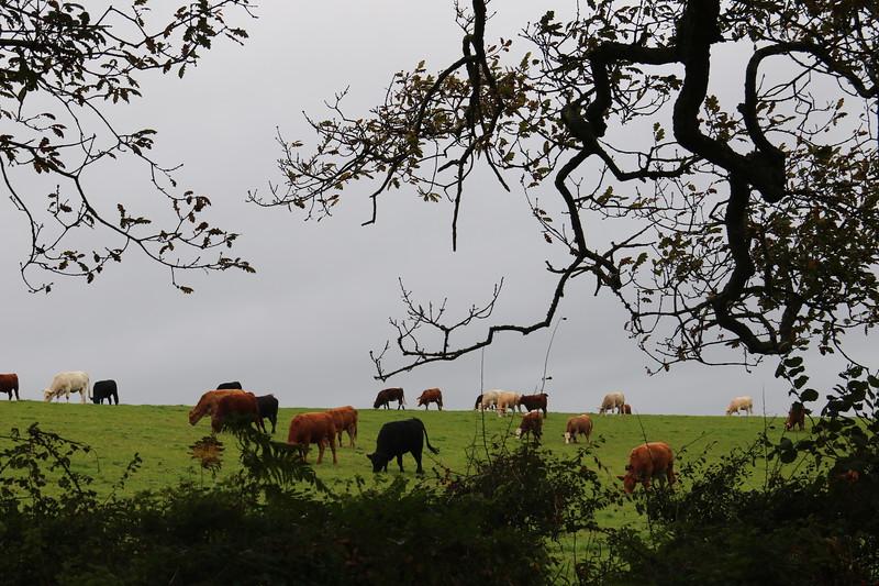 Bucolic cornish cows