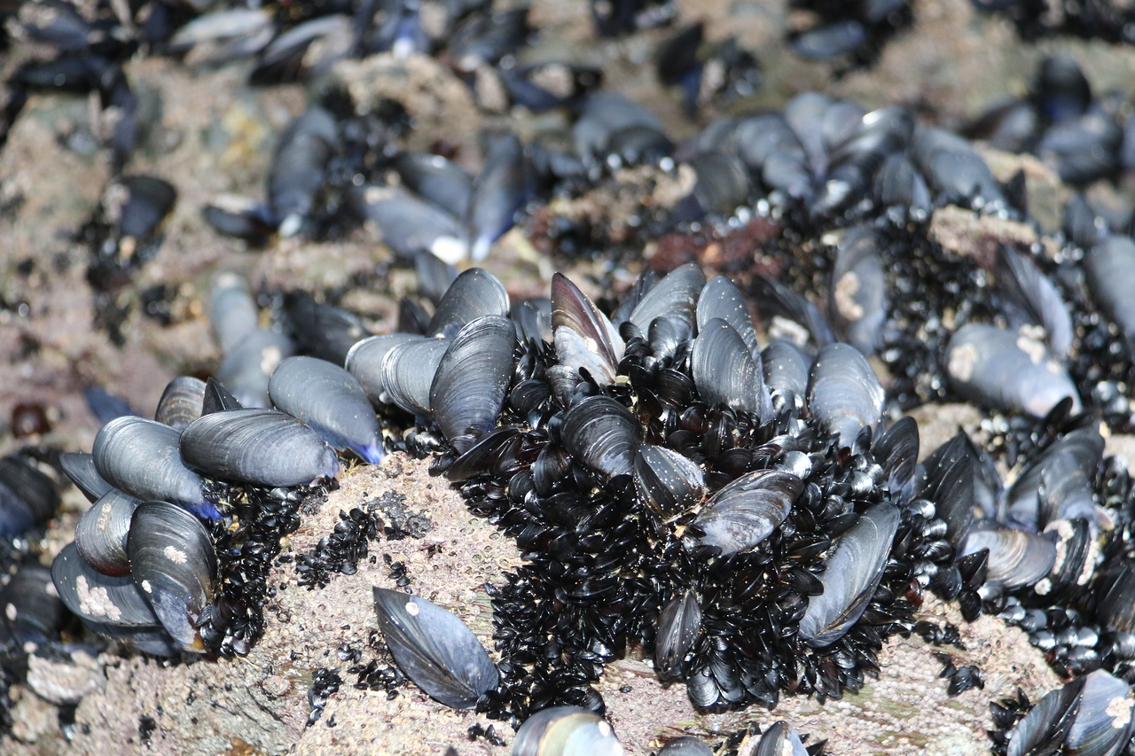 Mussels - close up