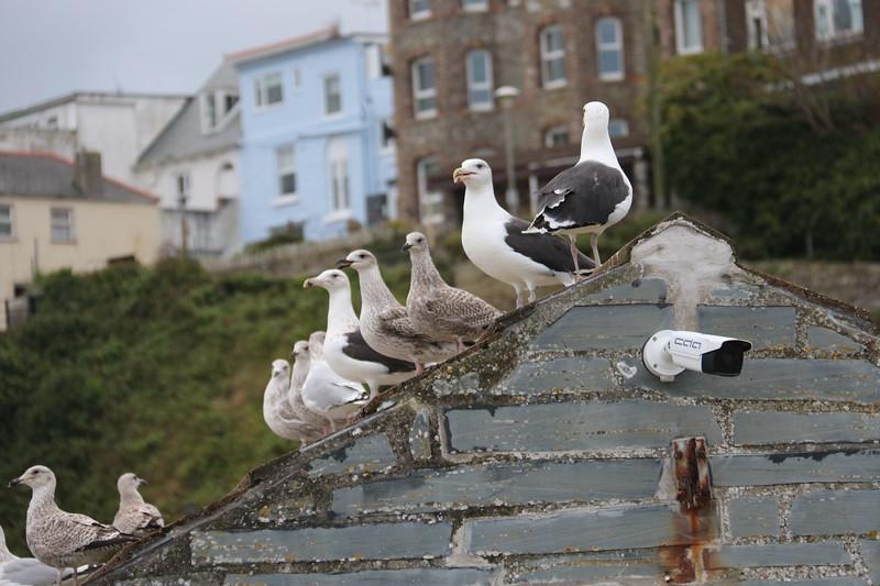 Sea Pigeons, I think