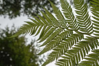 Fern leaf, Trelissick Gardens