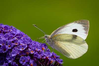 Large White on Buddleia