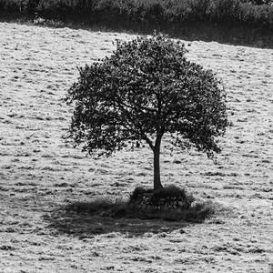 Tree in a Hay Field