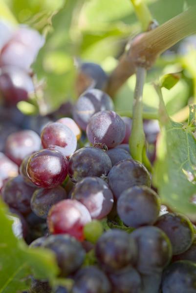 Coronado Vineyards