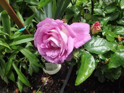 Weeks Roses - 'Arctic Blue' floribunda, our most recent addition