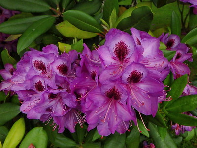 Rhododendron 'Blueberry'