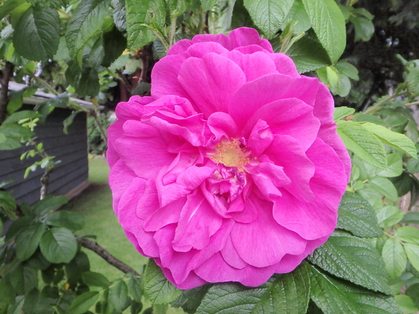 Rugosa rose 'Roseraie de l'Hay' strong scented rugosa
